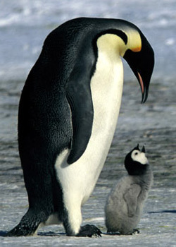 20061129224829-penguins-250x350.jpg